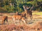 Male red deer (Cervus elaphus) is shouting